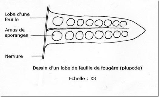 dessin_fougere